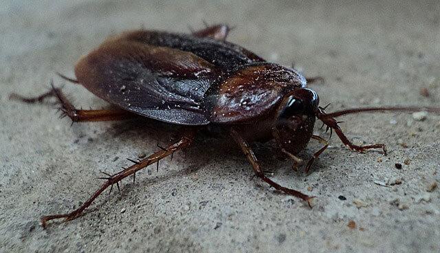 cucaracas